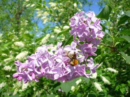 Bird cherry, lilac and the bee by LasmejaLora