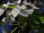 white flowers by OMJ-Its-Alicia