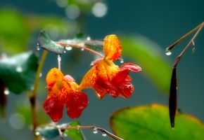 Jewelweed by TimLaSure