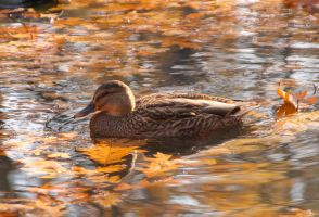 Autumn duck II by starykocur