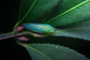 Leafhopper. by HeatherSchoff