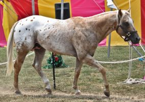 Appaloosa 15 by erl-stock