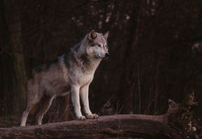 Timber Wolf - Revised by JoelAJD