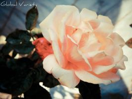 Peach Passion by TheGlobalVariety