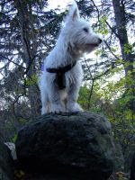 westie by Cab-GdL