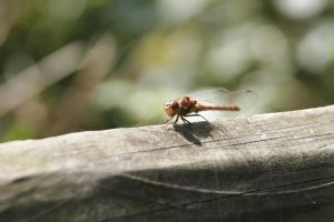 Damselfly 3 by CuriousCabbit