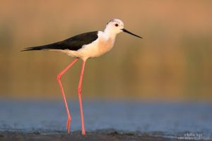 Black-winged Stilt in Morning by Sergey-Ryzhkov