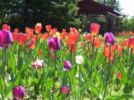 More Tulips by Narzaria