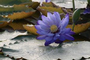Water lily No. 6 by Amaries-stock