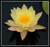 Water Lilly 2 by evaPM