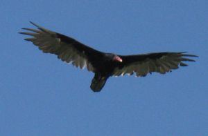 Turkey Vulture 4 by musicsuperspaz