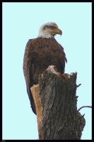 Bald Eagle by Variety-Stock