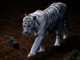 White Tiger by DaytonaBlue64Impala
