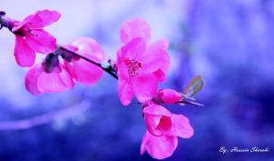 pink blossoms by sharahi
