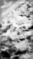Buttercup BW by Miss-Madonna