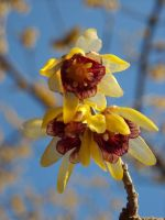 Wonderful wintersweet by TinyWild
