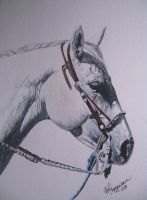Grey QH in watercolor by SREquineImages