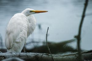 Perched Egret by mydigitalmind