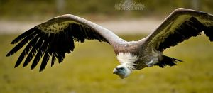 Old world vulture flying by Seb-Photos