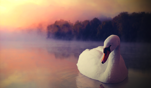 Swan by Hioderro