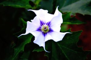 Jimson Weed by abarringer