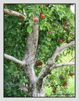 Apple Tree by picworth1000wrds