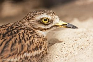 Stone-Curlew by DominikaAniola
