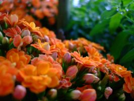 kalanchoe by bing4288