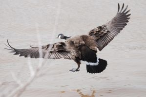 Canadian Goose by Dances-With-Leopards