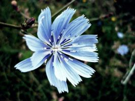 Chicory. by Alexscream