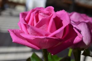 PINK ROSE 4 by ohidontkno