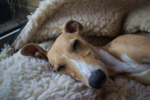Iggy the Whippet by Buzzermetoo