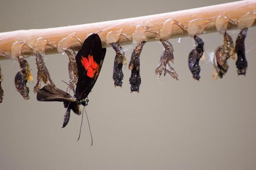 Hatching Buttfly by roarbinson