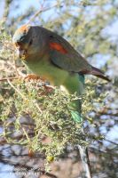 Mulga Parrot by OutbackReality