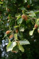 DSC 0012 Beech Nuts by wintersmagicstock