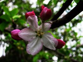 Apple Blossom 2 by Contengent-Necessity