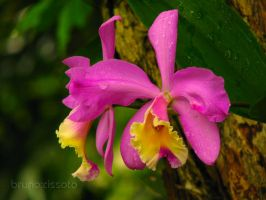 Cattleya on a tree in my house by brunocissoto