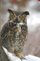 Great Horned Owl IV by Naarah