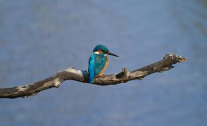 Kingfisher by princi83