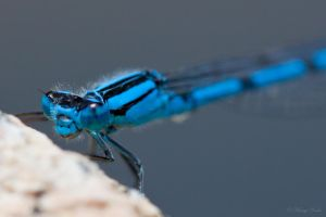 Damselfly by MariaDeinert