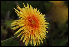 Gerbera Double Yellow. by Firey-Sunset