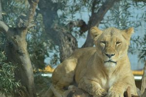 Lion 2 by decolesse-stock