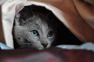 blue eyes of my russian kitten by Gala-Galerina