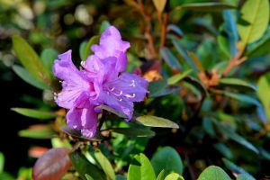 Double Petunia by lawout16