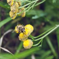 honey bee by JuliaGeisler