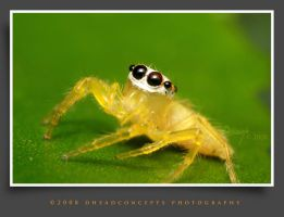 jumping spider 17 by dhead