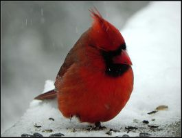 Cardinal scratch itchy cheek by Jeff-in-Canada