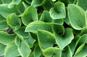 Hosta by LadyRStock