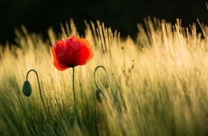 Sundrenched Poppy by strauseba