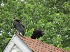 Turkey vulture's by Commanding-photos